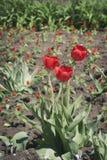 Trzy jaskrawego czerwonego tulipanu na kwiatu łóżku Zdjęcia Royalty Free