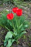 Trzy jaskrawego szkarłatnego czerwonego kwiatu tulipany Zdjęcie Royalty Free