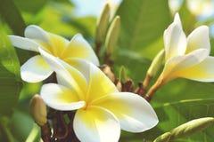 Trzy jaskrawy żółty frangipani Fotografia Stock