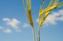 Trzy jaskrawy pszeniczny kolos w jasnym niebieskim niebie Zdjęcia Royalty Free