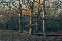 Trzy jesieni drzewa w niskim słońcu Zdjęcia Royalty Free