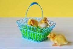 Trzy kaczątka z Wielkanocnym koszem fotografia royalty free