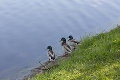 Trzy kaczek kaczor siedzi na banku rezerwuar i patrzeje wodę obraz stock