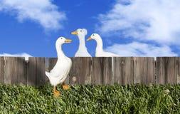 Trzy kaczek ogrodzenie Obraz Royalty Free