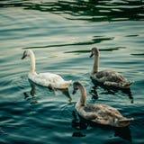 trzy kaczki zdjęcie royalty free