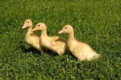 trzy kaczki Zdjęcia Royalty Free