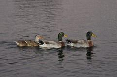 trzy kaczki Obraz Stock