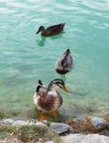 trzy kaczki Fotografia Royalty Free