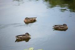 Trzy kaczki na jeziorze Fotografia Royalty Free