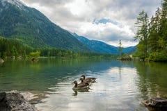 Trzy kaczki na Lasowym Halnym jeziorze Obrazy Stock