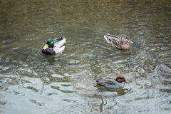 Trzy kaczki pływaczka gang Zdjęcia Stock