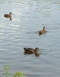 Trzy kaczki w stawie Zdjęcia Stock