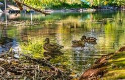 Trzy kaczki Wydają Niektóre Spokojnego czas na rzece spokój Zdjęcia Royalty Free