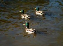 Trzy kaczor kaczki zdjęcia stock