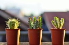Trzy kaktus Zdjęcia Royalty Free