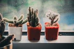 Trzy kaktus na balkonowym okno Fotografia Stock