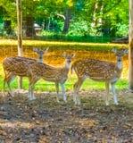 Trzy kobieta dostrzegał osi deers stoi w piasku i patrzeje bardzo zainteresowana obraz royalty free