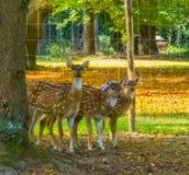 Trzy kobieta dostrzegał osi deers stoi za drzewem i patrzeje ciekawa fotografia royalty free