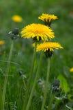 Trzy kolorów żółtych dandelion Obraz Royalty Free