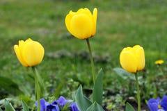 Trzy kolorów żółtych tulipanowy kwiat Zdjęcia Royalty Free