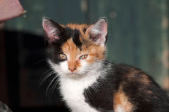 Trzy kolorów dziecka kot, śliczny figlarki twarzy portret Zdjęcie Stock