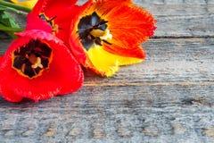 Trzy kolorowego tulipanu na drewnianym stole kosmos kopii Fotografia Royalty Free