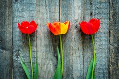 Trzy kolorowego tulipanu na drewnianym stole Odgórny widok Fotografia Stock