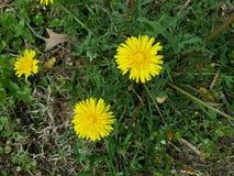 Trzy koloru żółtego dandelion wierzchołka obraz stock