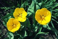 Trzy koloru żółtego tulipanu kwiatu fotografującego od above Obraz Stock