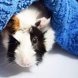 Trzy koloru królik doświadczalny i ręcznik obrazy stock