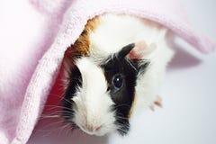 Trzy koloru królik doświadczalny i ręcznik obraz stock