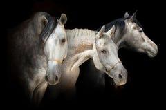 Trzy koni portreta sztandar Obrazy Royalty Free