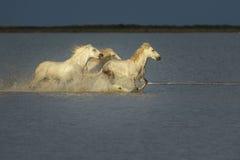 Trzy konia Fotografia Stock