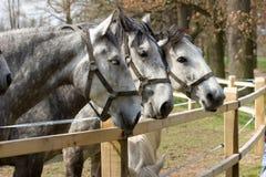 Trzy konia Obraz Royalty Free