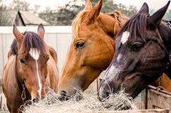 Trzy konia jedzą suchej trawy, rolniczy ekonomiczny temat, w górę zdjęcie stock