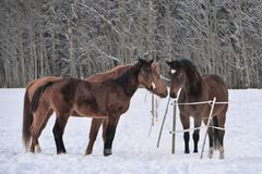 Trzy konia jest ubranym zima żakiety w śniegu zakrywali padok obrazy stock