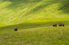 Trzy konia w górach Zdjęcia Royalty Free