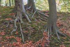 Trzy korzenia Obraz Royalty Free