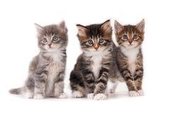 trzy kotki Zdjęcie Royalty Free