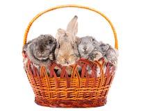 Trzy królik w koszu Zdjęcie Stock