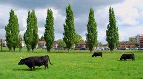 trzy krowy Fotografia Royalty Free