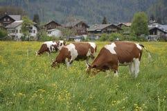 Trzy krowy na łące Zdjęcia Royalty Free