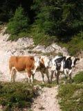 Trzy krowy przy paśnikiem Zdjęcie Royalty Free