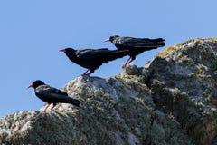 Trzy kruk chwytaj?cy na rockowym Pyrrhocorax pyrrhocorax fotografia stock