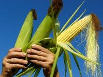 Trzy kukurydzanego cobs Obrazy Royalty Free