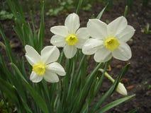 Trzy kwiatu i jeden pączek biały narcyz Obrazy Stock