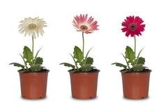 Trzy kwiatu w garnkach Zdjęcie Stock