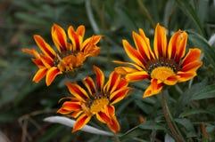 trzy kwiaty pomarańczy Zdjęcia Royalty Free