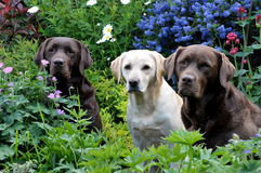 Trzy labradora Obraz Royalty Free