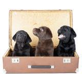 Trzy labradora szczeniak w walizce zdjęcia stock